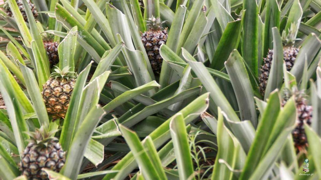 sao miguel plantacja ananasów
