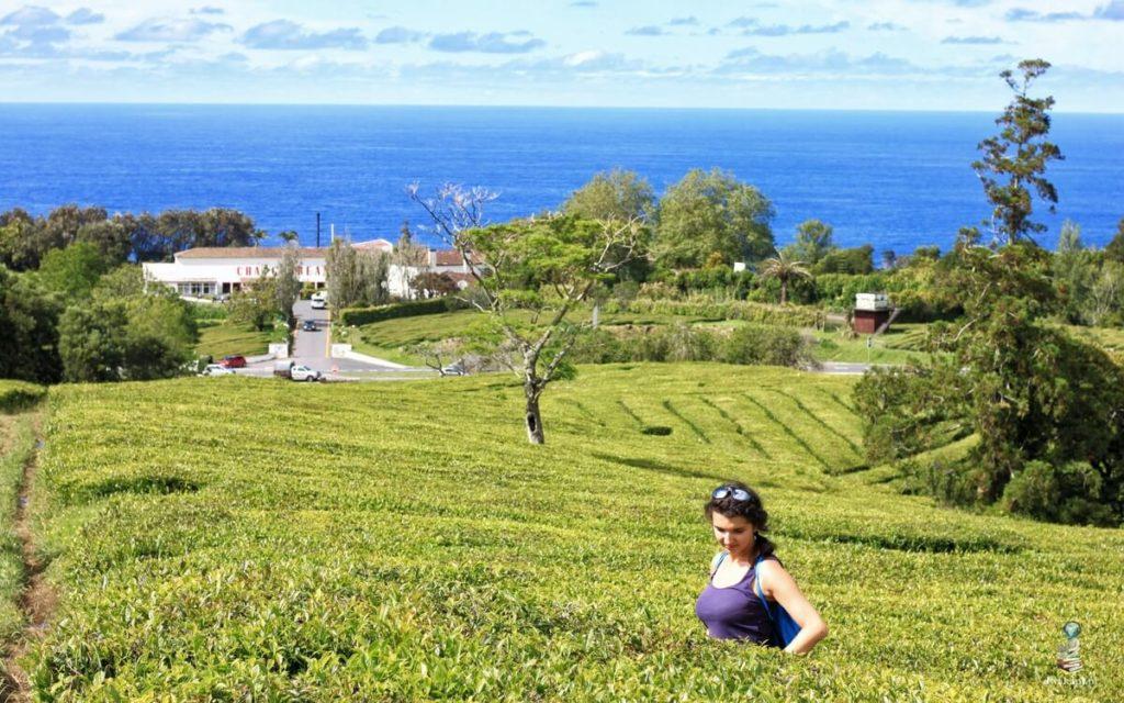 sao miguel plantacje herbaty